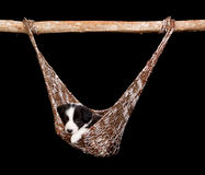 Hammock border collie Stock Image
