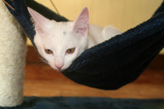 Hammock for cats. A white kitten laying in a blue velvet hammock royalty free stock image