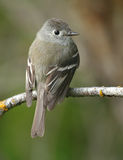 Hammond's Flycatcher Royalty Free Stock Photography