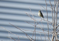 Hammond's Flycatcher perched Stock Photography