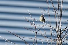 Hammond& x27; s Flycatcher kontakt wzrokowy Zdjęcie Stock