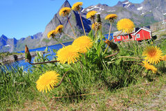 Hamnoey and dandelions Royalty Free Stock Photography