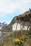 Hamnoy's fjord, narcissus  and stockfish Royalty Free Stock Images