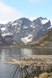 Hamnoy's  stockfish with mounts Stock Photography