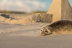 Hamnskyddsremsa, Phocavitulina som vilar på stranden, sandslott i bakgrunden Grenen Danmark royaltyfria bilder