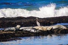 Hamnskyddsremsor och stor blå häger på Fitzgerald Marine Preserve, Moss Beach, Kalifornien royaltyfri fotografi