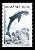 Hamntumlare (Phocaenaphocaenaen), djurserie, circa 1996 Royaltyfri Foto