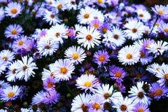 Hamomile blomma för Ð-¡ Arkivfoton