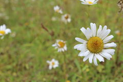 Сhamomile Royalty Free Stock Images