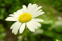 Сhamomile Flower Summer Stock Images
