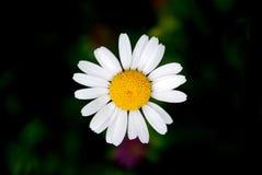 Сhamomile. Photo of chamomile from Ukrainian Carpathian Royalty Free Stock Photography