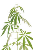 Hampa (cannabis) Arkivbild