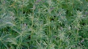 Hampa under blomning Rörelse av kameran över cannabisfältet Video skytte från händerna av groddar av ung marijuana