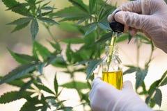 Hampaolja, medicinska marijuanaprodukter inklusive cannabisbladet, cbd och pölsaolja, alternativ medicin royaltyfri foto