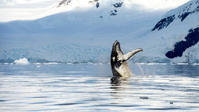 Hampback whale breaching jumping Stock Images