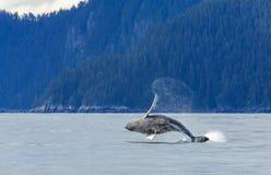 Hampback Whale breaching.. Hampback whale breaching jumping  at Kenai fjord national park Stock Photo