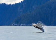 Hampbackwalvis het overtreden Royalty-vrije Stock Foto's