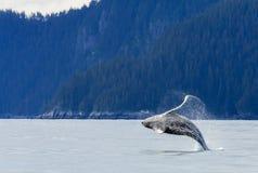 Hampbackwalvis het overtreden Stock Afbeeldingen