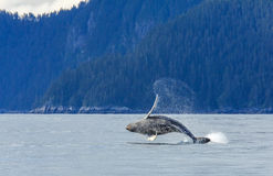 Hampbackwalvis het overtreden Stock Foto