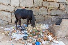 Hampi, il Karnataka, India - 1 14 2017; il bestiame santo sta mangiando immagini stock libere da diritti