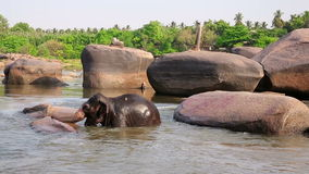 HAMPI, INDIA - APRIL 2013: Elephant bathing in river stock video