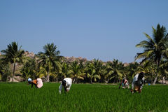 Hampi-Reisfelder Stockfotos