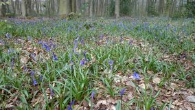 Hampshire-Glockenblumeholz Lizenzfreie Stockfotografie