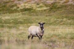 Hampshire-Schafe, die aufmerksam in Richtung der Kamera auf dem Gebiet mit Bergen im Hintergrund blicken Stockfotos