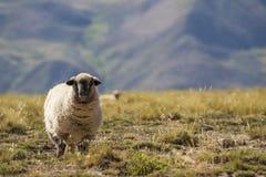 Hampshire-Schafe, die in Richtung der Kamera auf dem Gebiet mit Bergen im Hintergrund blicken Stockfotos