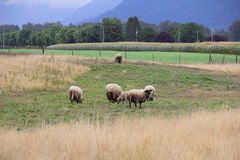 Hampshire Sheep in Valley Stock Images