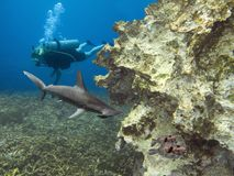 HamPuffReef. Scalloped Hammerhead Shark (Sphyrna lewini) and Stars-and-Stripes Toadfish (Arothron hispidus) with female diver in background Stock Photo