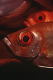 Конец-вверх бычеглазых окуней полумесяц-кабеля Индийского океана Мозамбика (hamrur Priacanthus) Стоковое фото RF