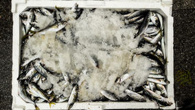 Hamsi / Anchovy with ice in styrofoam box. Royalty Free Stock Photography