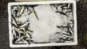 Hamsi / Anchovy with ice in styrofoam box. Royalty Free Stock Photos