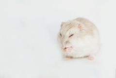 Hamster. The white sleeping dwarf hamster Royalty Free Stock Photos