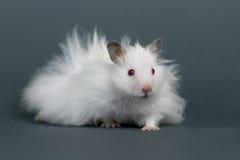 Hamster Royalty-vrije Stock Foto's