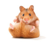 Hamster. Very Cute Hamster isolated on a white background stock image