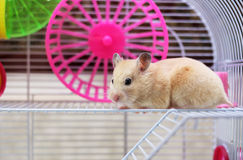 Hamster. Still sits in a cage royalty free stock images