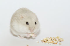 Hamster. The white dwarf hamster eating royalty free stock photography