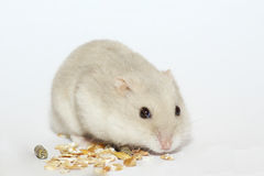 Hamster. The white dwarf hamster eating Stock Photos