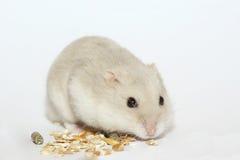 Hamster. The white dwarf hamster eating stock photos