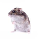 hamster Arkivbilder