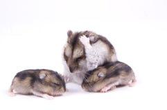 hamster Arkivfoton