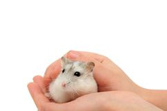 Hamster. Isolated on the white background Royalty Free Stock Photo