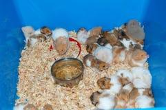 Hamster Fotos de Stock Royalty Free
