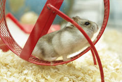 Hamster. Running on th red wheel