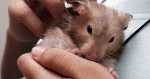 Hamster. A hamster sits on a hand Stock Image