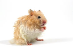 Hamster. Isolated on a white background stock image