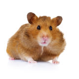 Hamster. Cute Hamster isolated on white with copy-space for text