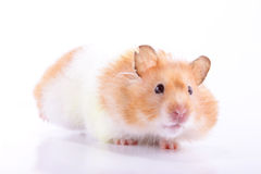 Hamster. A female Syrian hamster with food in its cheek pouches scampering back to its nest against a light background